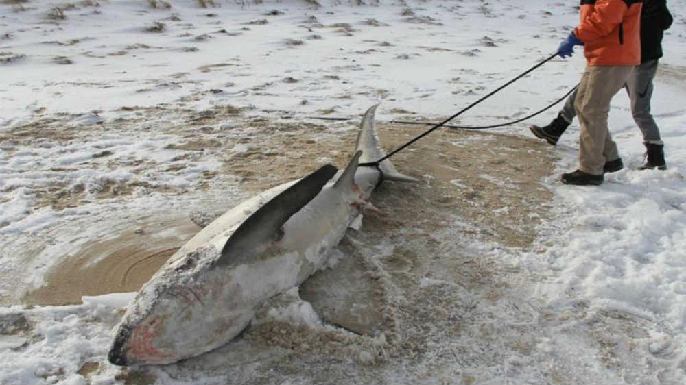 Foto: Atlantic White Shark Conservancy (AWSC)